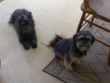 Maggie the Cairn is 13 years. Colby the mix is 11 years. Maggie is really starting to show her age now.